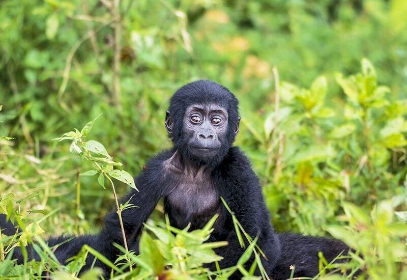 Ultimate Uganda Gorilla Trekking