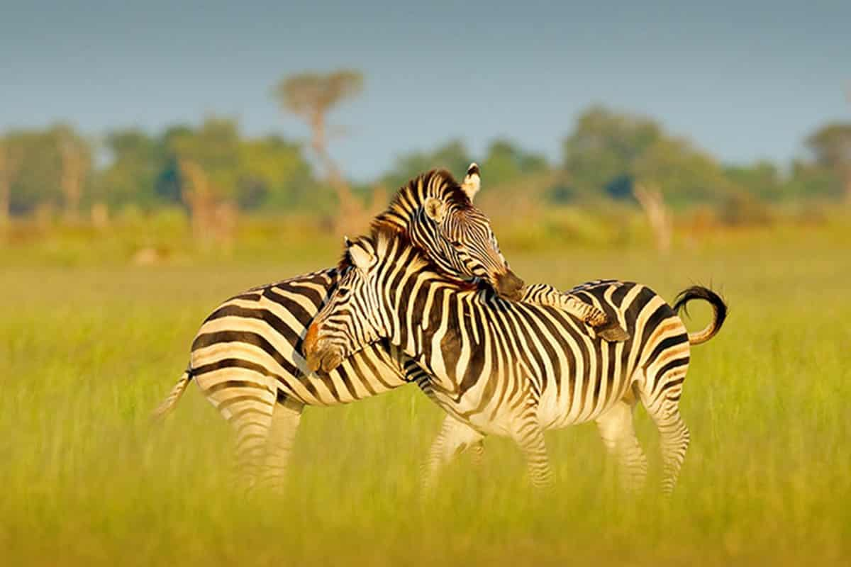 Botswana Zebra Migration while on Safari